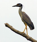 Yellow-Crowned Night Heron, Smith Pond, Smith Oaks, High Island Texas