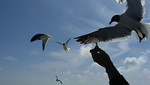 phone pic on the ferry from Galveston Island to Bolivar Peninsula. Feeding the laughing gulls.