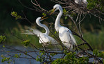 Squabbles -Great White Egrets -Smith Oaks Rookery, High Island, Texas
