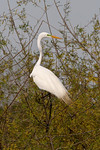 Great White Egret High Island, Texas 3-25-2014
