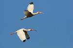 Two White Ibis In Flight -Smith Oaks Rookery, High Island, Texas 2013