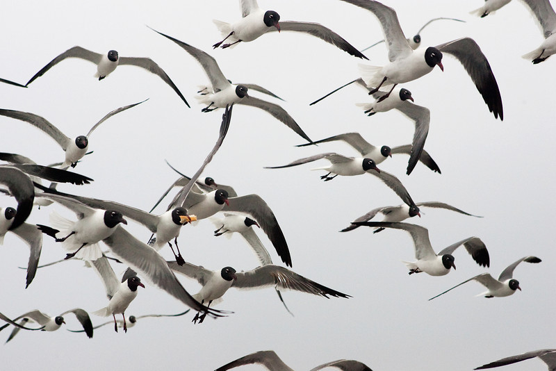 The Galveston Ferry Laughing Gulls With Bread