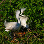 Snowy Egrets Nest Building. The male delivers a nice new twig he just gathered from the area across the way. Smith Oaks Rookery, High Island, Texas, May 2014.