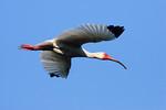 White Ibis - Smith Oaks Rookery, High Island, Texas 2013