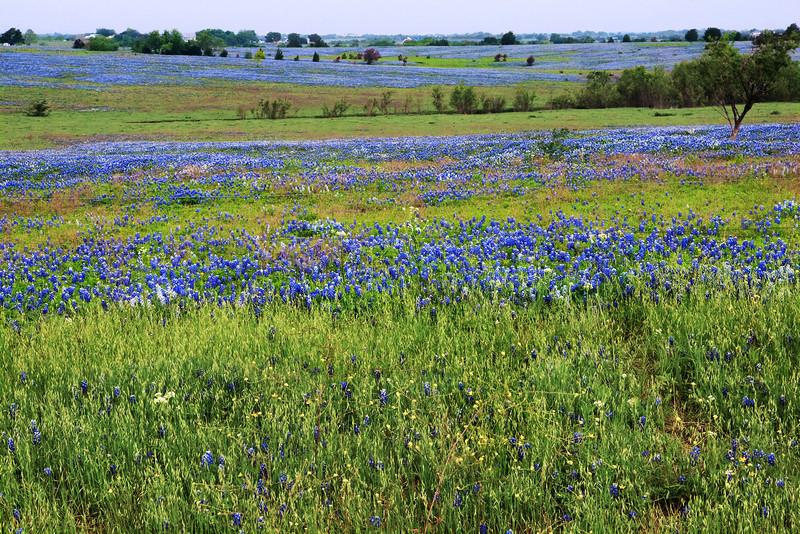 Bluebonnet Morning -Ennis, Texas 4-10-12