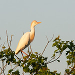 Cattle Egret, Smith Oaks Rookery, High Island, Texas, May, 2014.