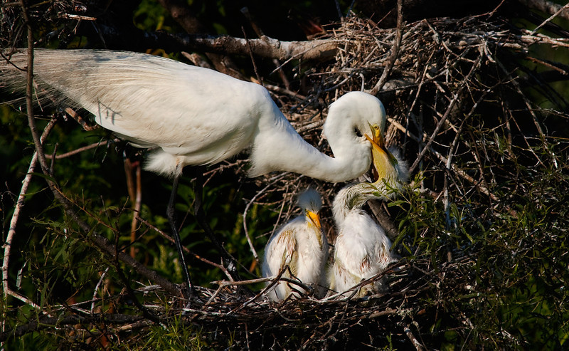 Great White Egret Feeding Chicks -High Island, Texas, May 2012