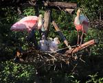 Meet the Spoonbills - Roseate Spoonbills, Smith Oaks Rookery, High Island, TX 2013