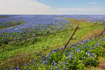 A Sea Of Bluebonnets -Ennis, Texas 4-10-12
