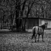 Horse near Bob Jones Park, Southlake, Texas (November 2013)