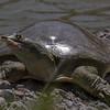 Soft-shell Turtle
