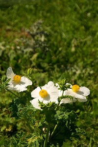 Texas Prickly Poppy