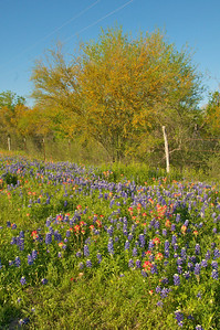 Bluebonnets,Paintbrush, and Mesquite