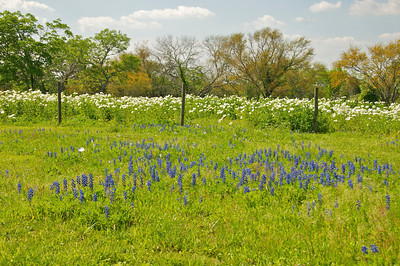 Blue Bonnets Poppys and Mesquite