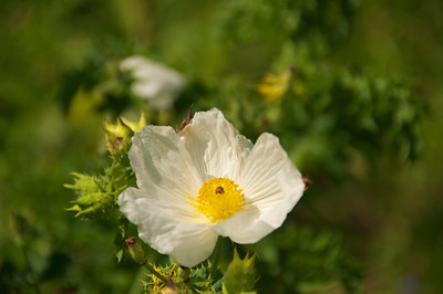 Texas Prickly Poppy up close