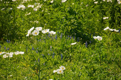 Texas Prickly Poppy and Bluebonnets