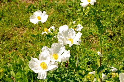 Texas Prickly Poppy 4,5,6