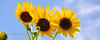 Sunflower Trio panoramic