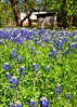 Texas Bluebonnets #1