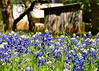 Texas Bluebonnets #3