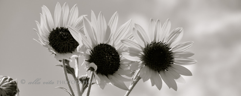Sunflower Trio panoramic B&W