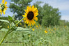 Palo Duro Sunflowers #2