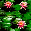 Nymphaea 'Luciana' is a classic day-blooming variety that generously produces 6-inch-wide pink flowers over a long season. It is adaptable to low light. This plant spreads 3-4 feet wide. Zones 4-10