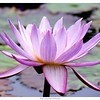 Water Lily (purple)