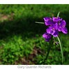 Spiderwort or Snotweed