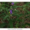 Silver-leaf Nightshade<br /> (Nightshade Family)