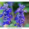 Mealey Blue Sage