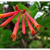 Native Honeysuckle