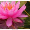 Water Lily- Pink
