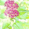 Watercolor- Garden Penta