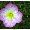 Showy Evening Primrose