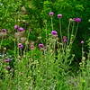 Musk or Nodding Thistles
