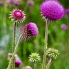 Musk Thistle or Nodding Thistle