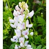 Texas Bluebonnet-White Blossoms