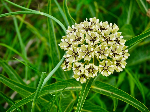 Texas Wildflowers- White/Green