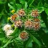 Button Bush Flowers