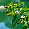Button Bush Shrub & Blooms