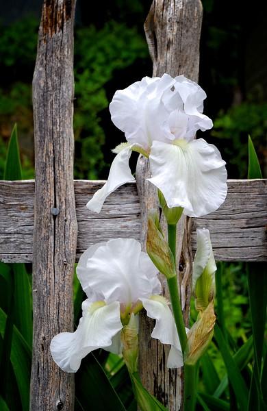White Iris or Flag