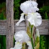 White Iris or Flag