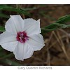 Texas Bindweed