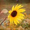 Sunflower (Textured)