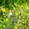Sow Thistle: Blooms and Seeds