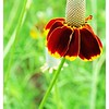 Mexican Hat or Prairie Coneflower