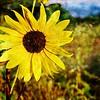 New Day (Sunflower)