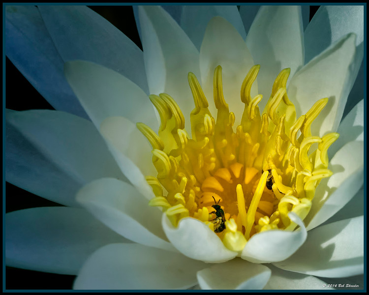 Water Lily Comparison - 1 of 3