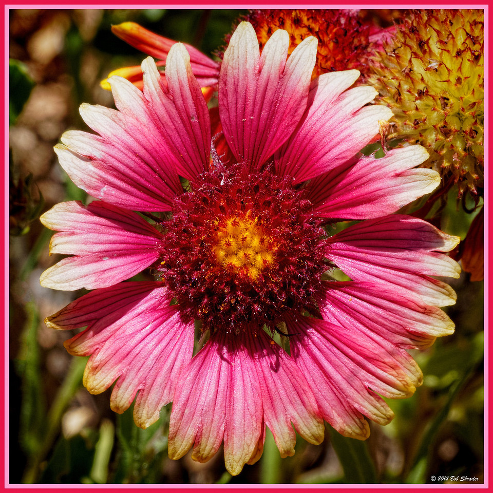White-Tipped Indian Blanket